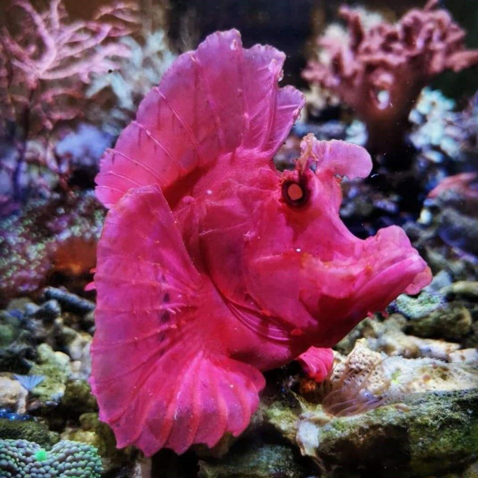Rhinopias Eschmeyer Red (WYSIWYG)