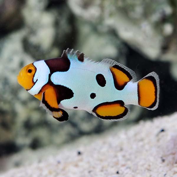 Amphiprion Percula, Picasso Clownfish