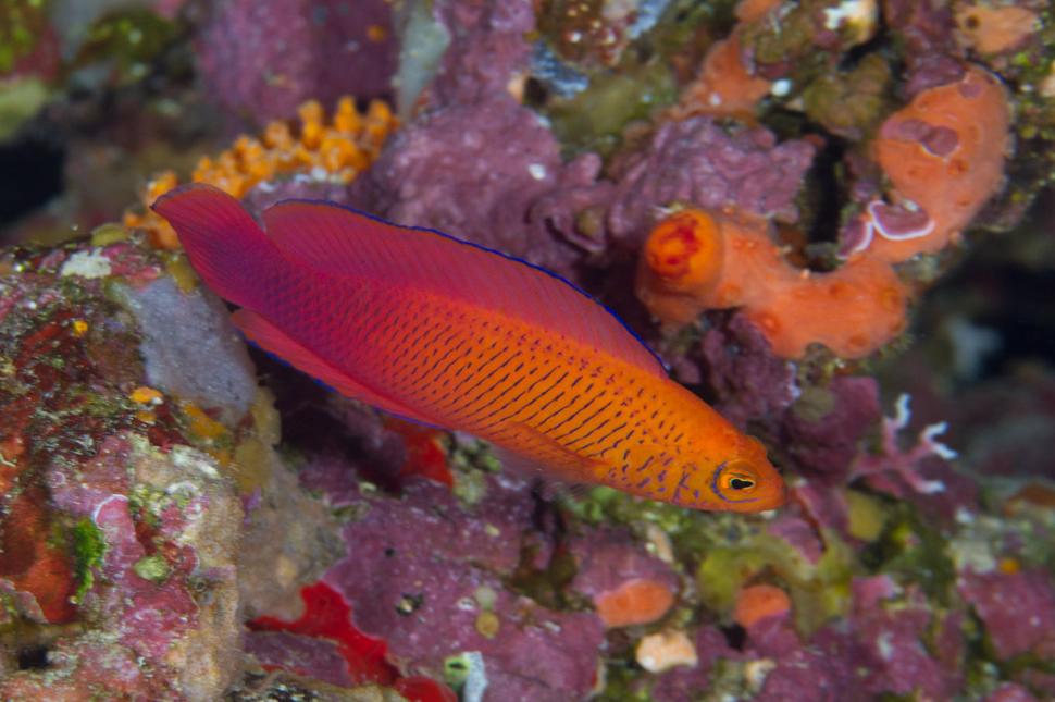 Cypho Purpurescens