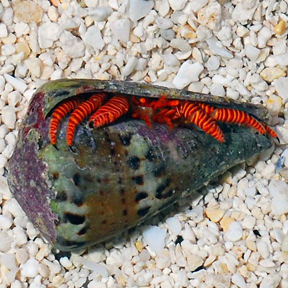Ciliopagurus Strigatus