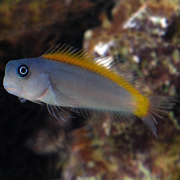 Ecsenius Lividanalis
