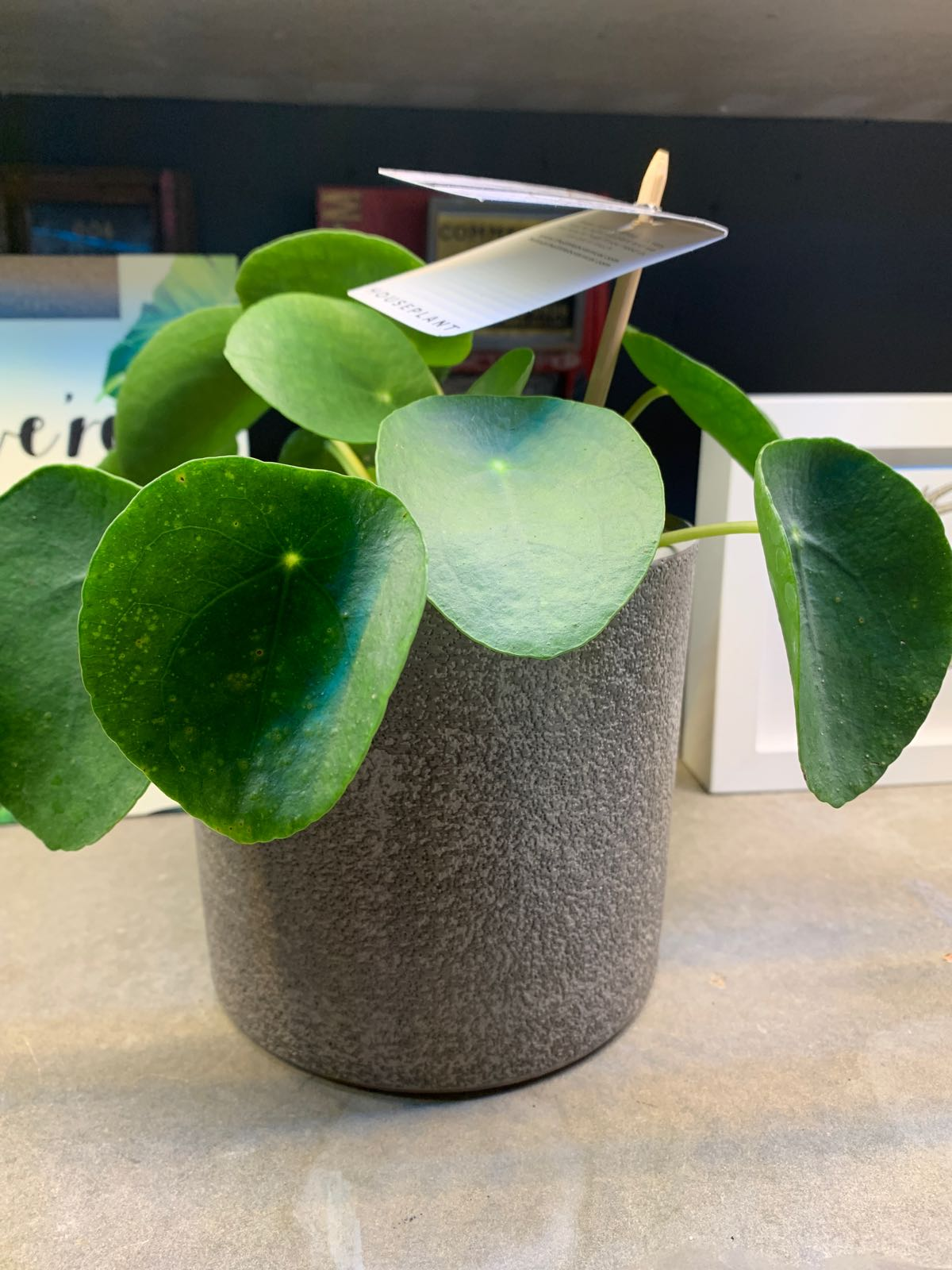 The Little Botanical -  Pilea