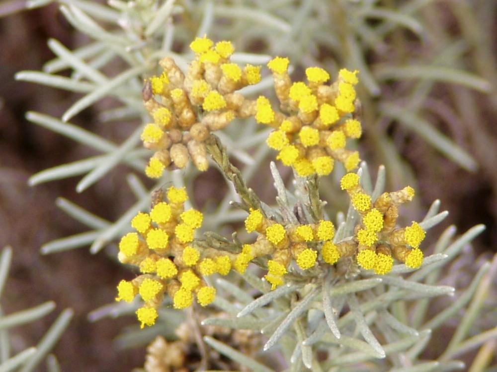 Hydrolat - Helichrysum