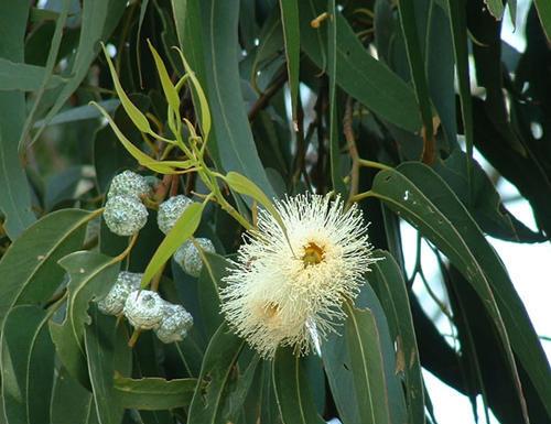 Eterisk olja - Eucalyptus globulus eko