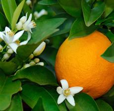 Hydrolat - Apelsinblom