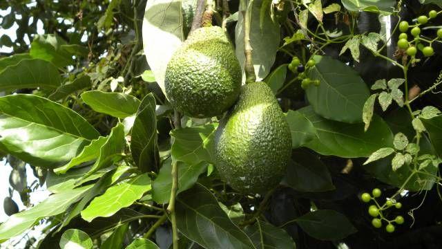 Växtsmör - Avocado