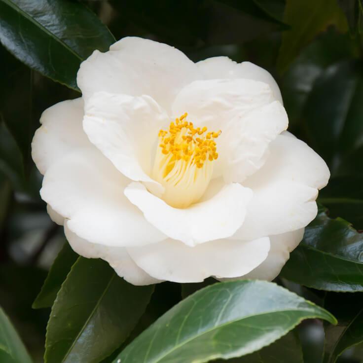 Växtolja - Camellia