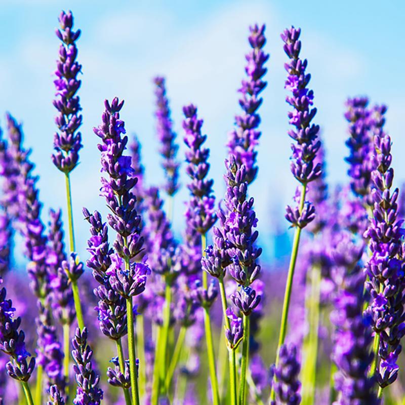 Hydrolat - Lavendel