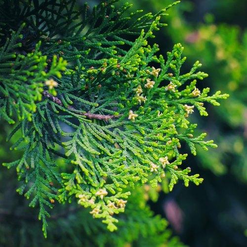 Hydrolat - Cypress