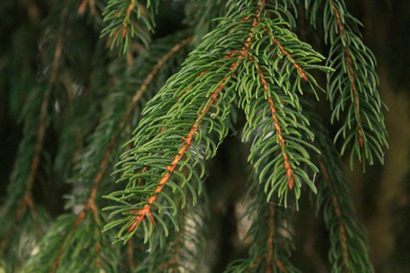 Eterisk olja - Gran / Spruce