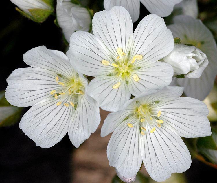 Växtolja - Meadowfoam / Limnanthes alba