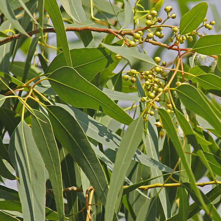Eterisk olja - Eucalyptus citriodora eko