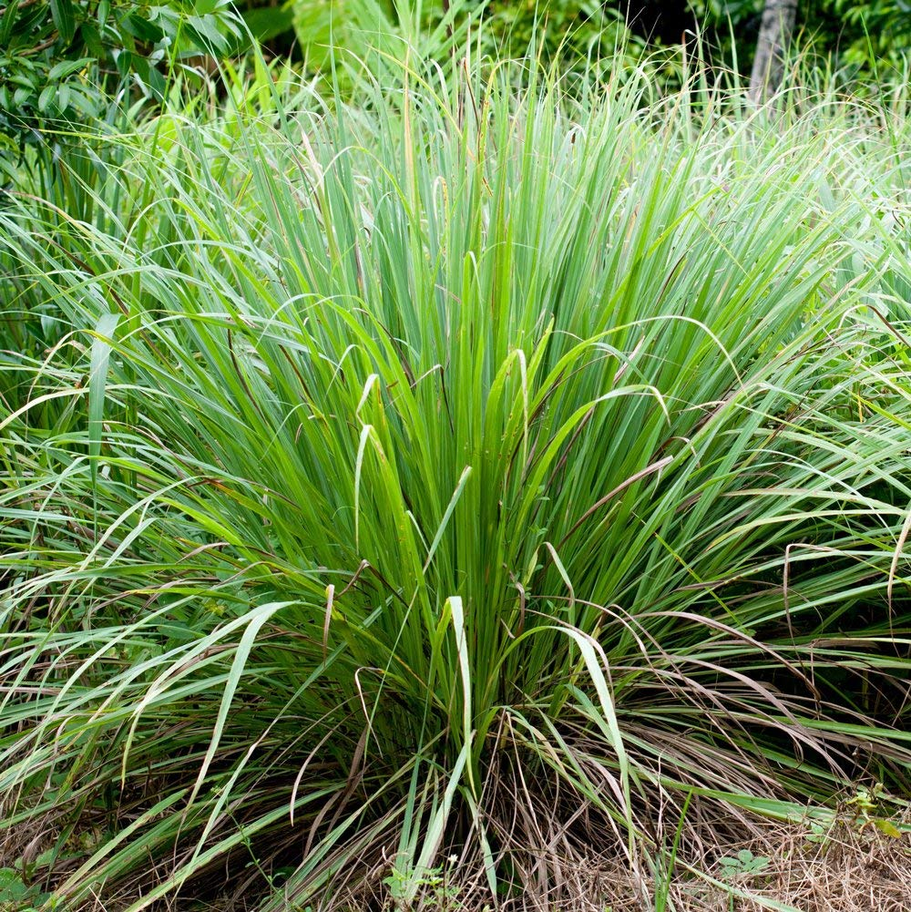 Eterisk olja - Citrongräs eko / Lemongrass organic