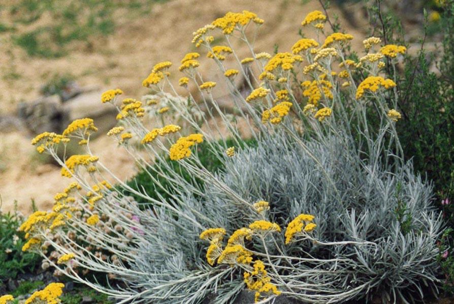 Eterisk olja - Helichrysum eko / organic 5 ml