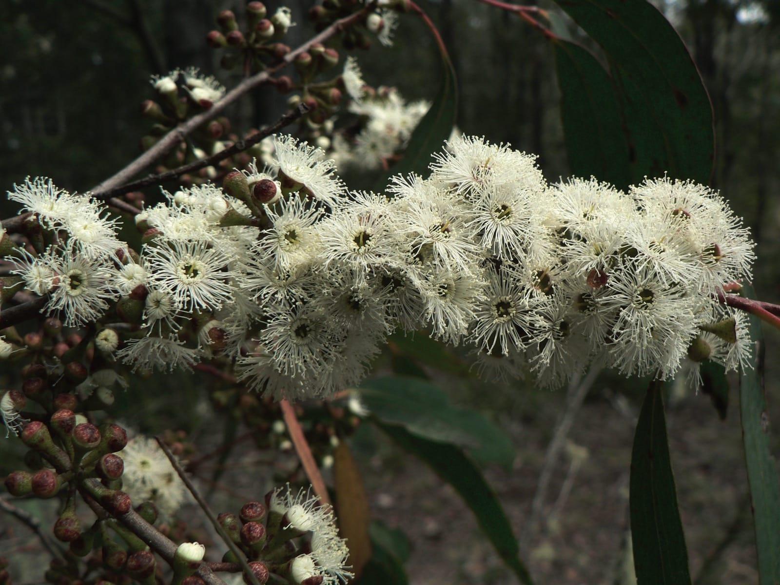 Eterisk olja - Eucalyptus radiata eko