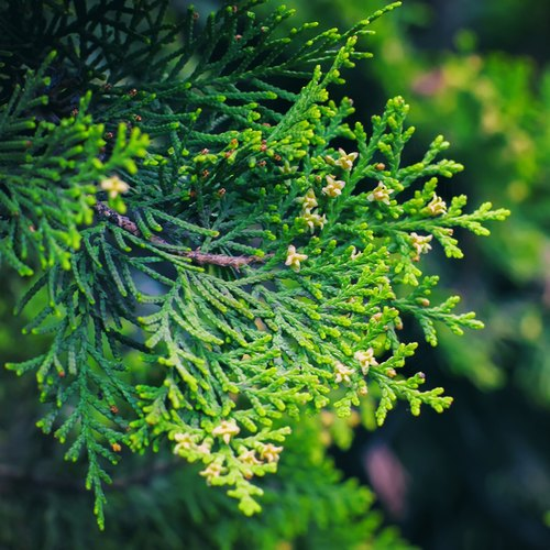 Eterisk olja - Cypress eko