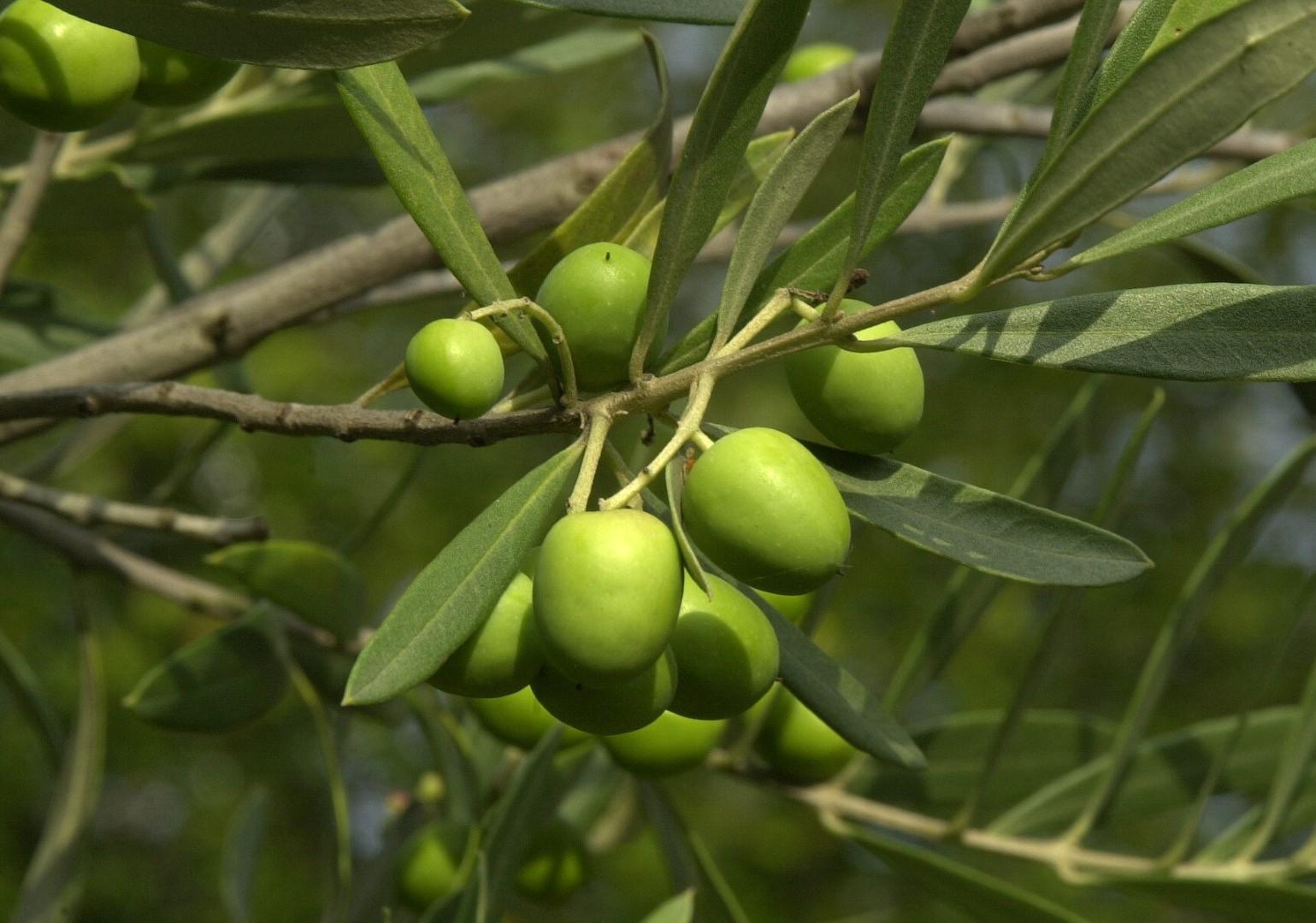 Växtsmör - Oliv