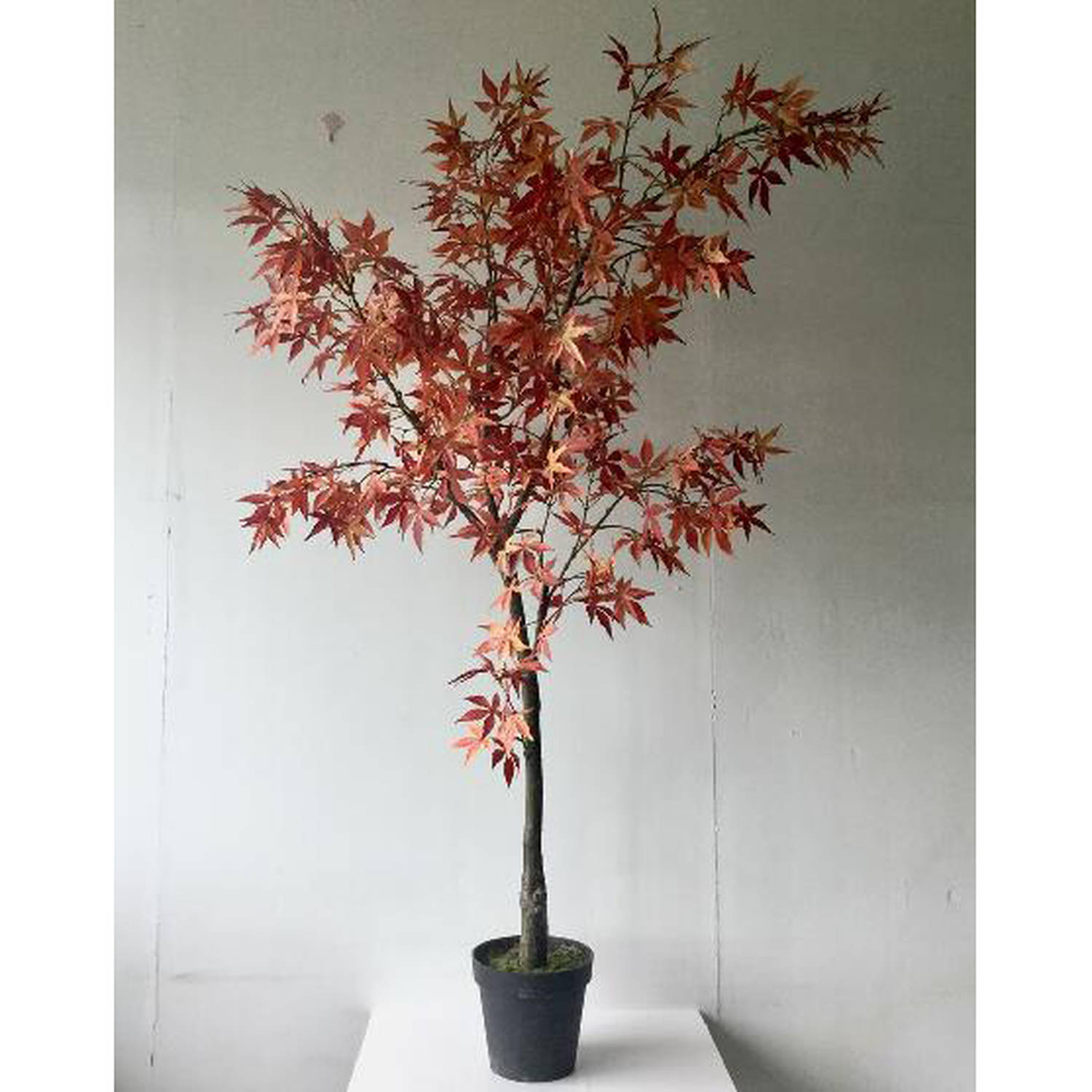 Large Acer Tree